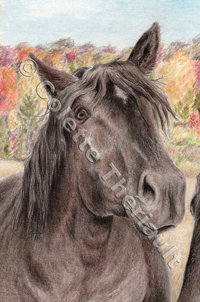 Percheron stallion-Pet Portrait Drawing