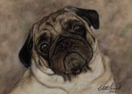 Pug Portrait in Pastel