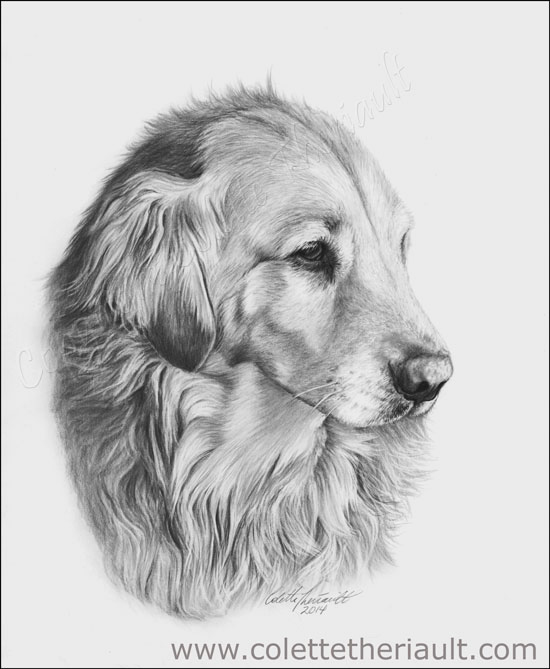 Golden Retriever pet portrait drawing in charcoal