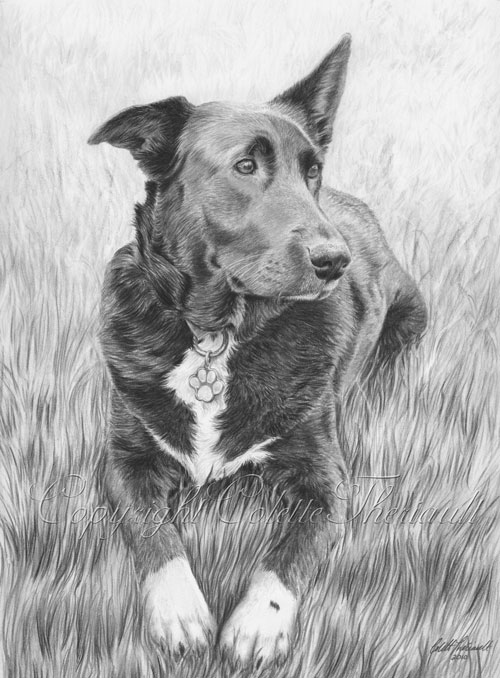 Border Collie Labrador mix Portrait