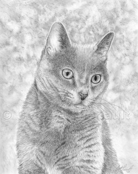 Domestic Short Hair Cat Drawing-Pet Portraits