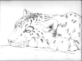 Snow leopard pencil sketch