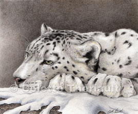 Snow leopard cat finished portrait