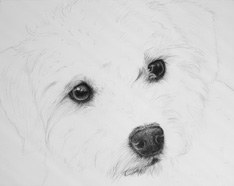 Poodle/terrier drawing