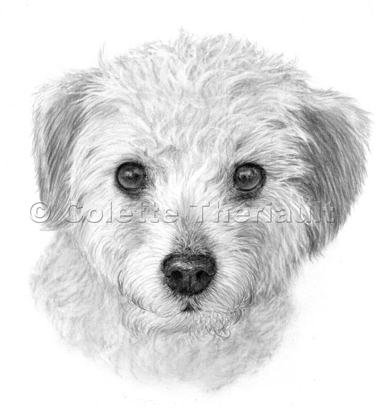 Poodle Terrier  mix pencil drawing