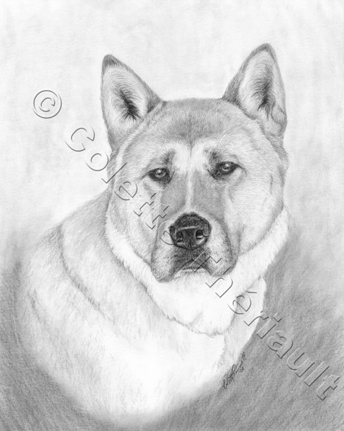 portrait drawing pencil. Japanese Akita Pencil