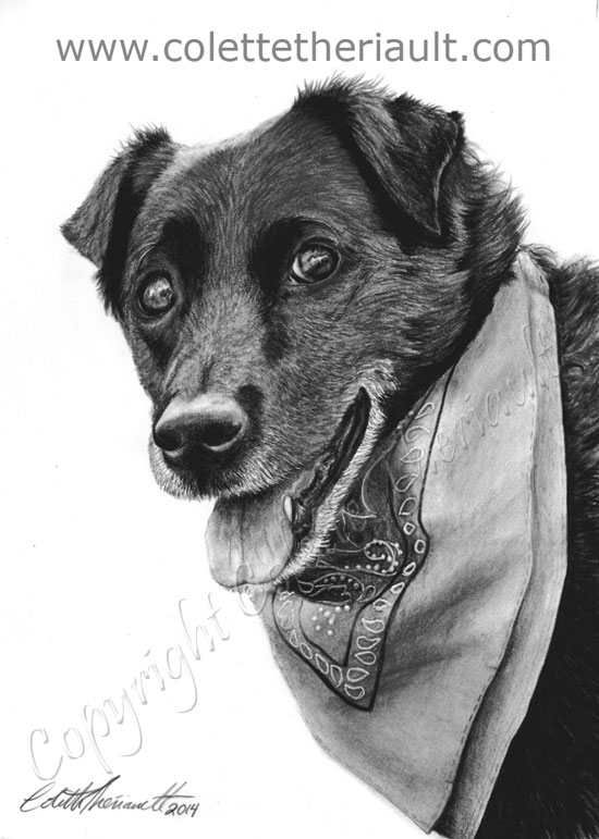 Black Labrador pet portrait pencil drawing in charcoal and graphite