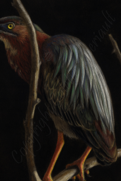 details of green heron bird painting in pastel by Colette Theriault