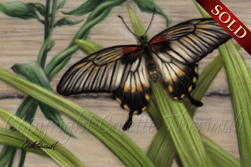 Great Mormon Butterfly female painting in pastel
