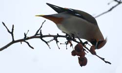 Bohemian waxwing reference photograph